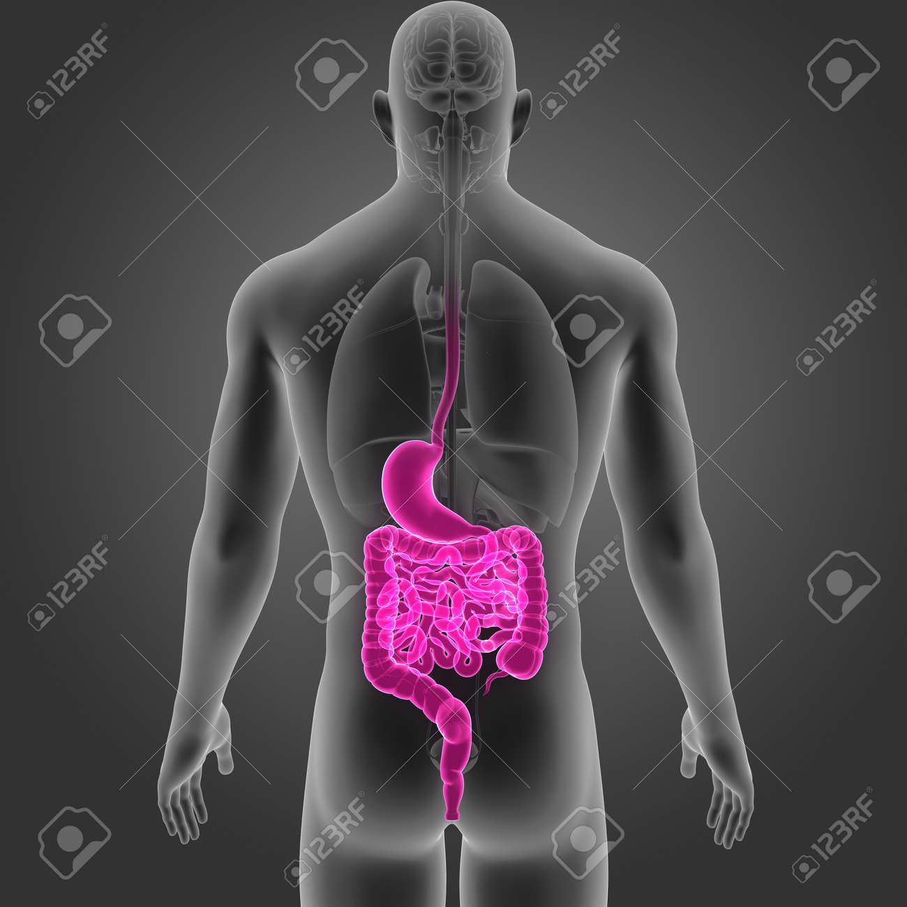 Estómago E Intestino Con órganos Vista Posterior Fotos, Retratos ...