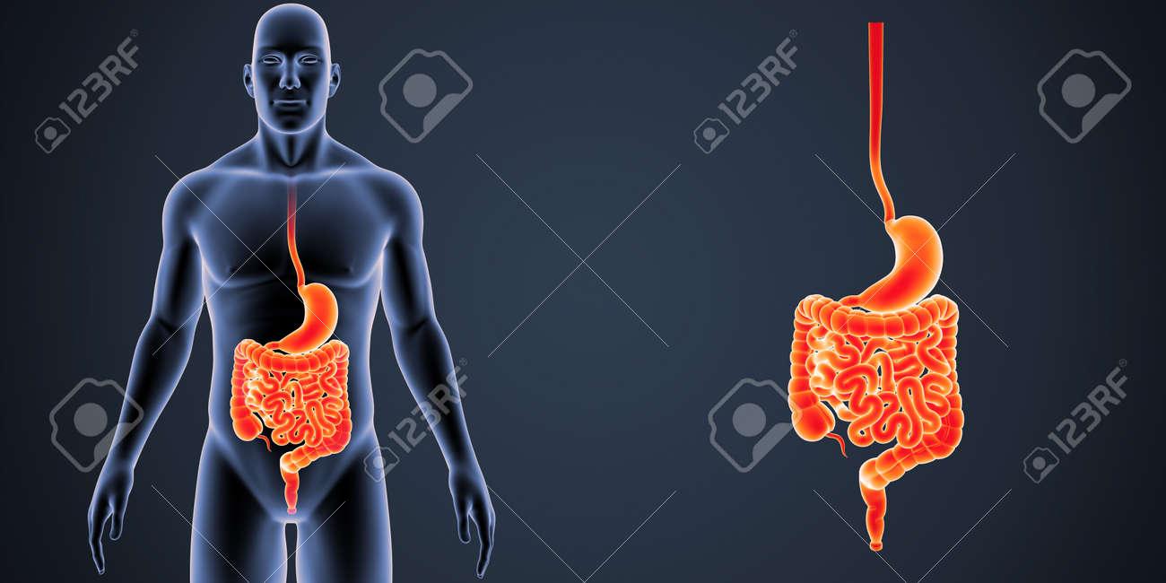 Estómago E Intestino Zoom Con Vista Anterior Del Cuerpo Fotos ...