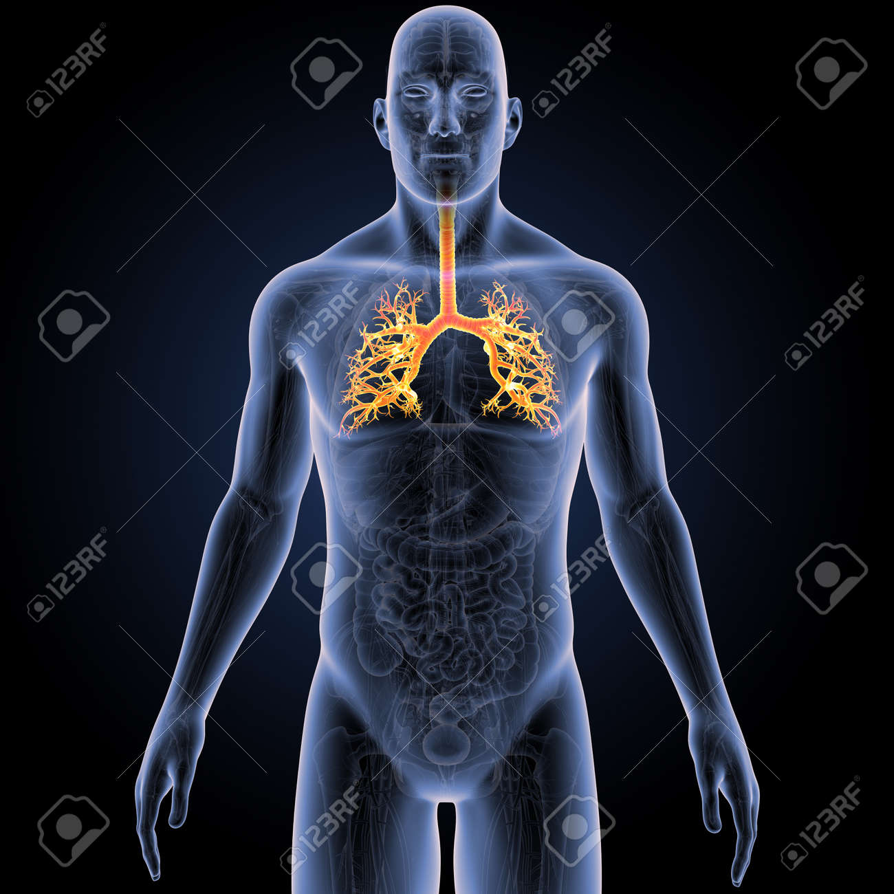 Trachea With Anatomy Anterior View Stock Photo, Picture And Royalty ...