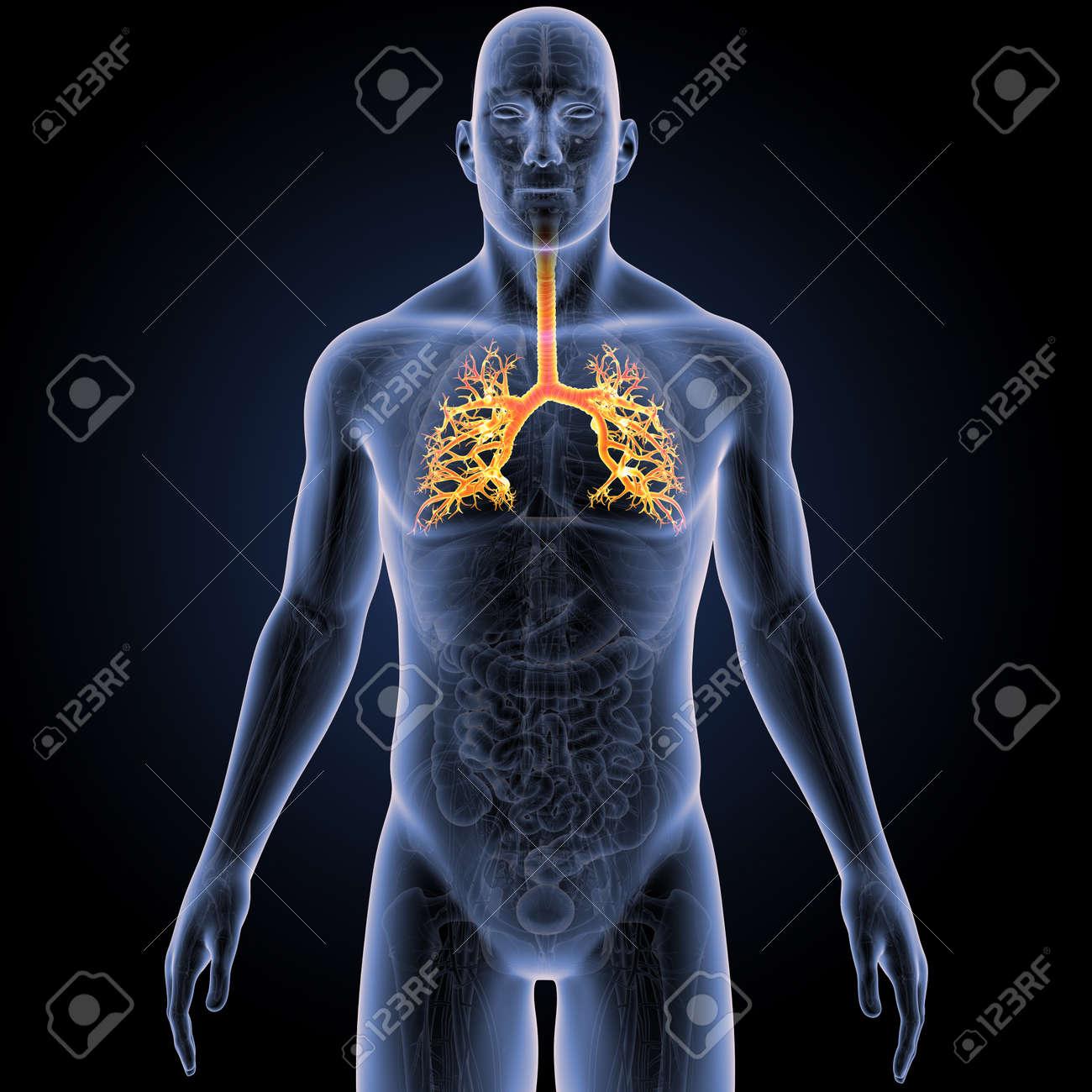 Atractivo Anterior De La Anatomía Patrón - Anatomía de Las ...