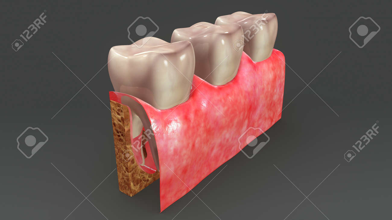 Teeth Anatomy Back Stock Photo, Picture And Royalty Free Image ...