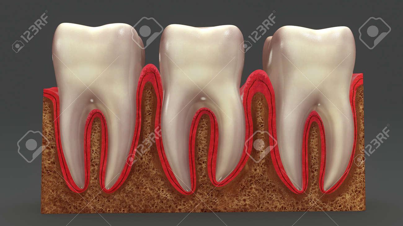 Teeth Anatomy Front Stock Photo, Picture And Royalty Free Image ...