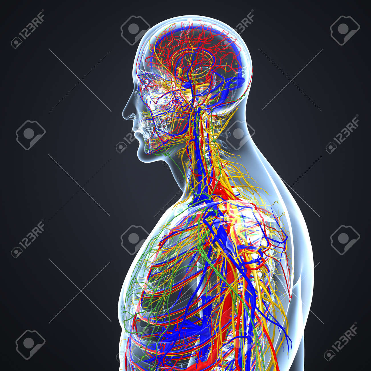 Circulatory and Nervous System with Lymph Nodes - 105318257