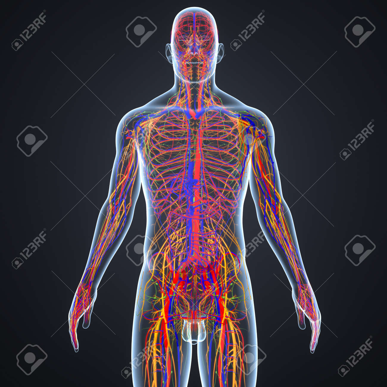 Circulatory and Nervous System with Lymph Nodes anterior view - 97027654