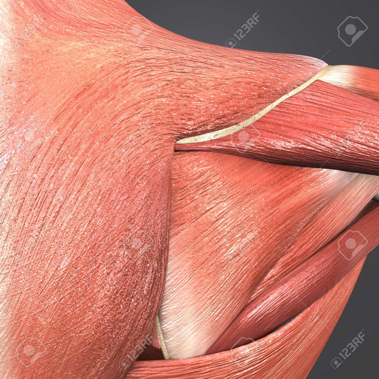 Shoulder Muscles Anatomy Posterior View Stock Photo Picture And