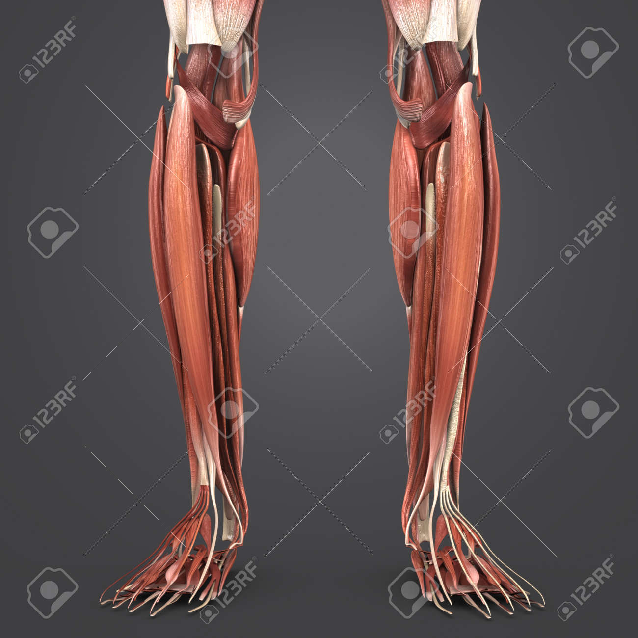 Leg Muscles Anatomy Stock Photo Picture And Royalty Free Image