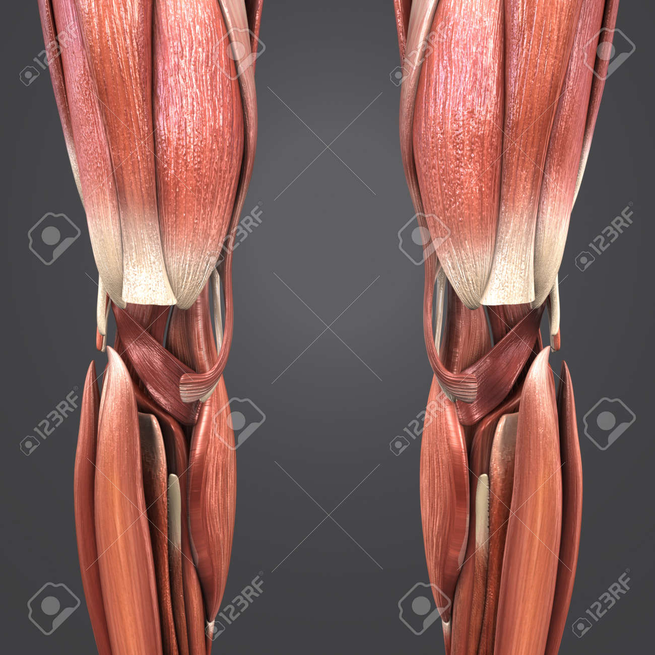 Knee Joint Muscle Anatomy Anterior View Stock Photo, Picture And ...