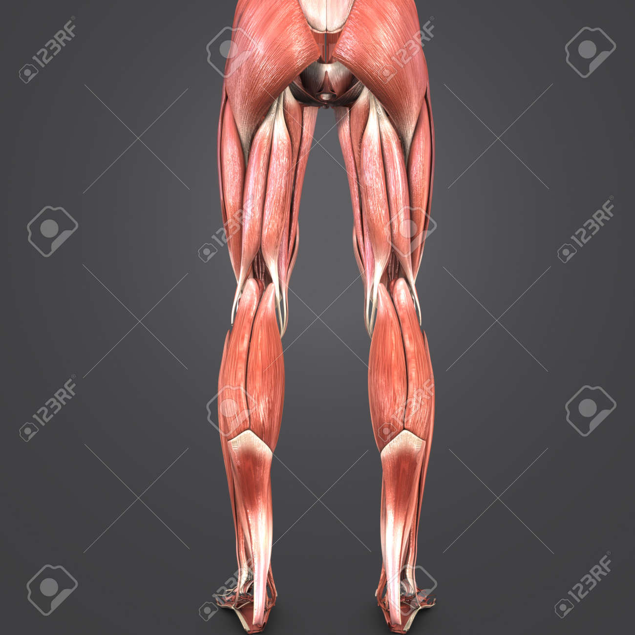 Lower Limbs Muscles Anatomy Posterior View Stock Photo, Picture And ...