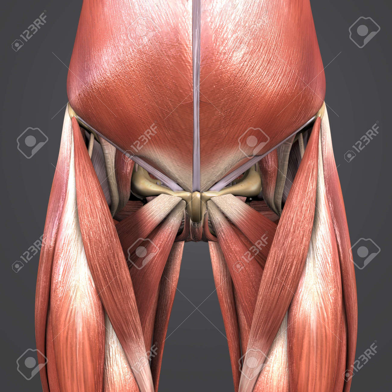 Muscles And Bones Of Hip And Thigh Stock Photo Picture And Royalty