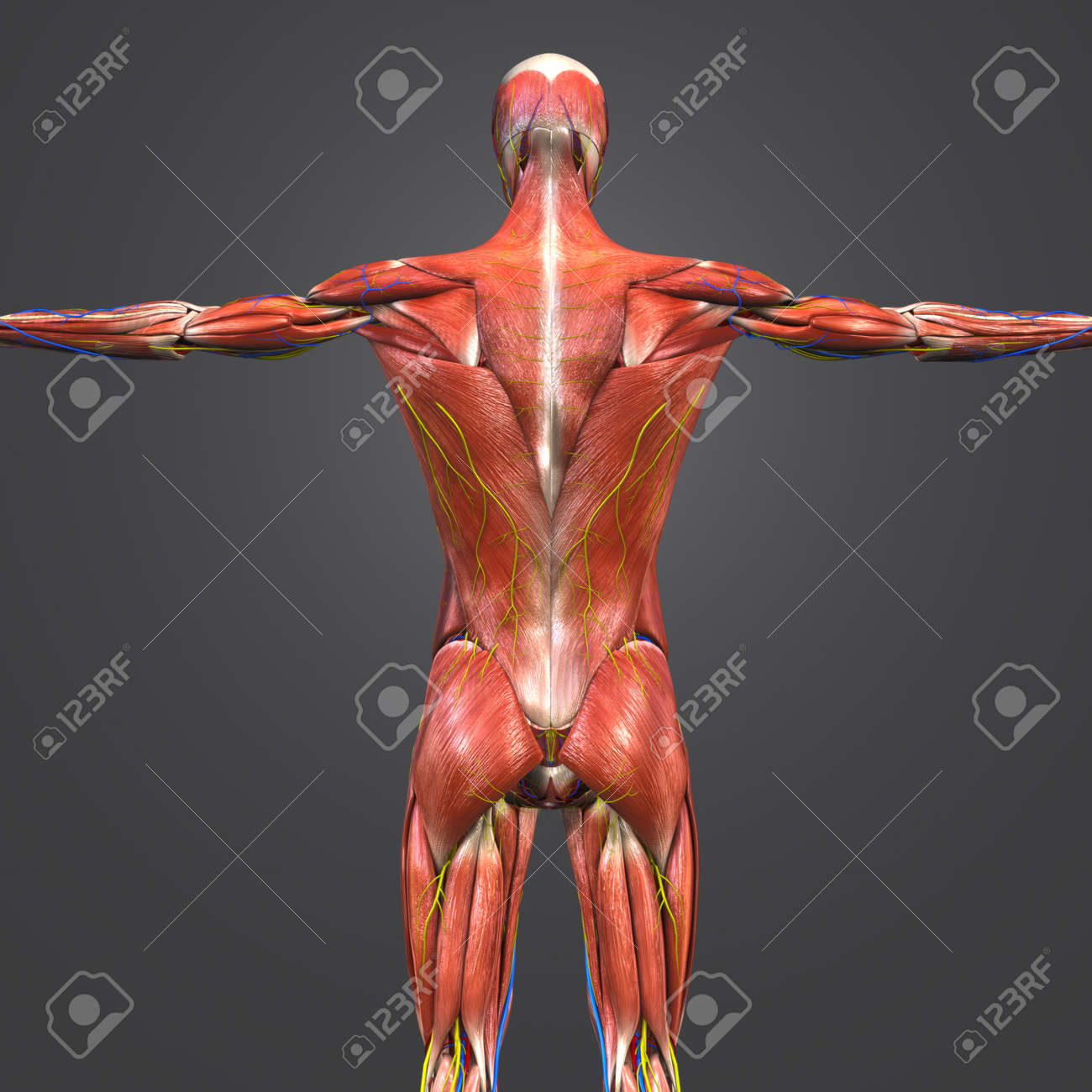 Human Muscular Anatomy With Blood Vessels And Nerves Posterior