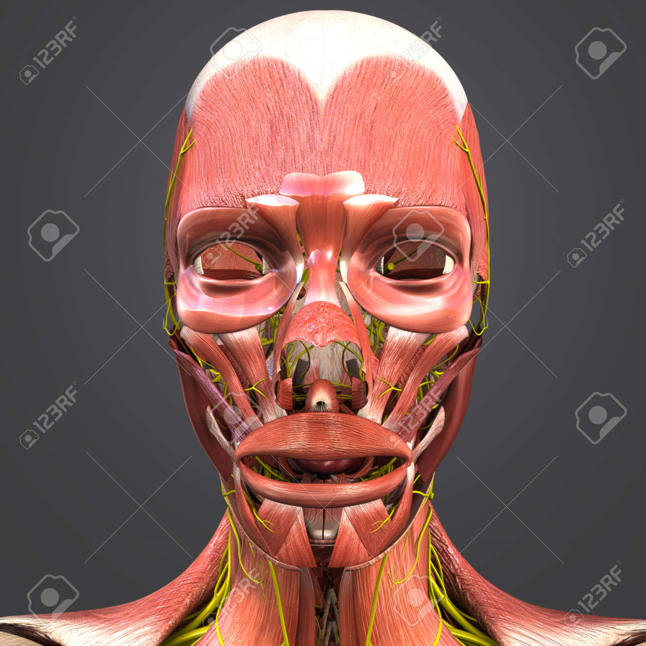 Facial Muscles Anatomy With Nerves Stock Photo, Picture And Royalty ...