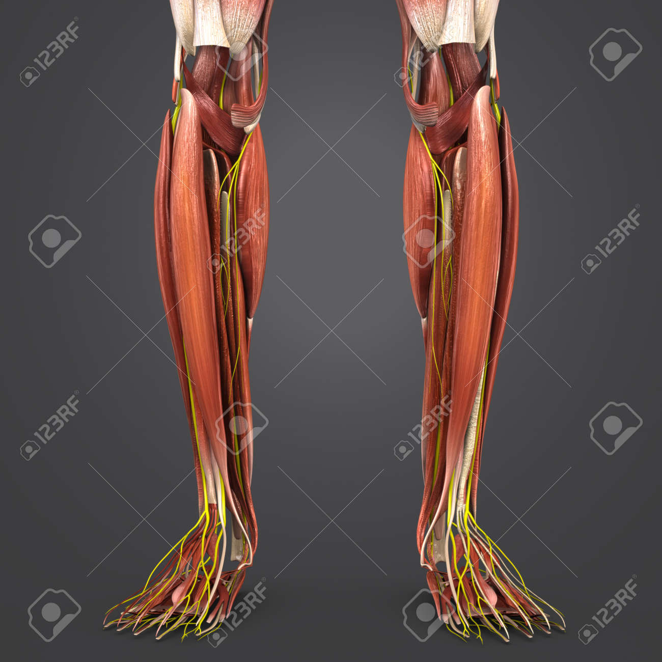 Leg Muscles Anatomy With Nerves Stock Photo Picture And Royalty