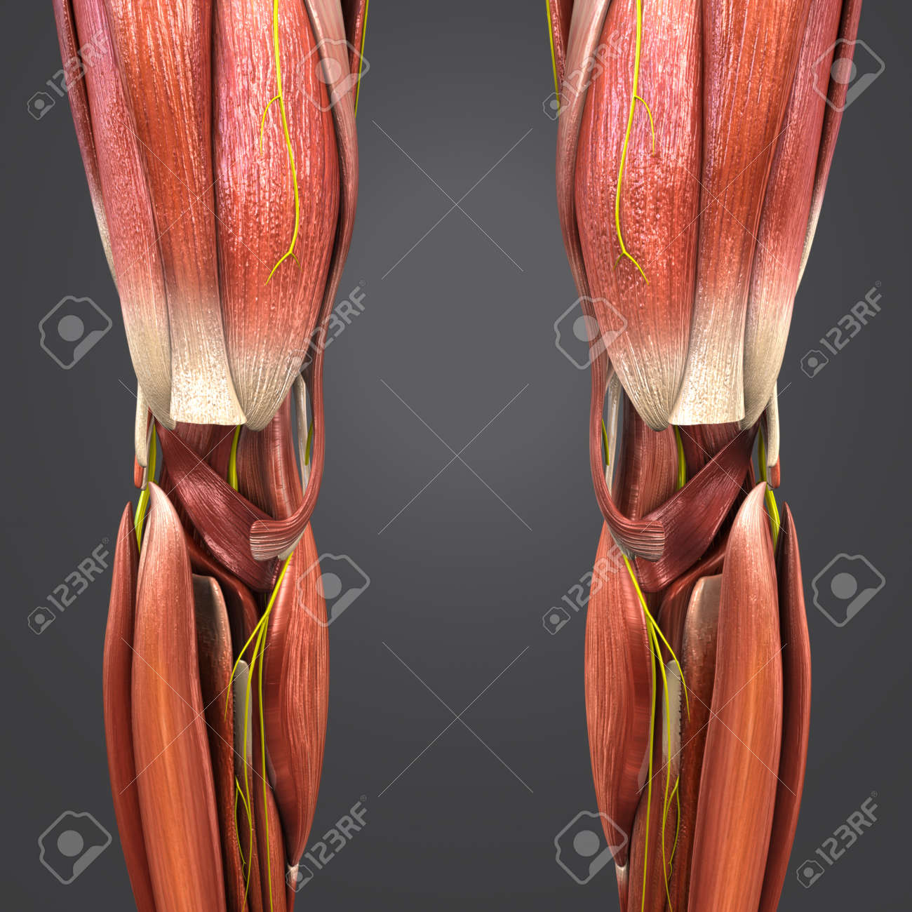 Knee Joint Muscles Anatomy With Nerves Stock Photo Picture And