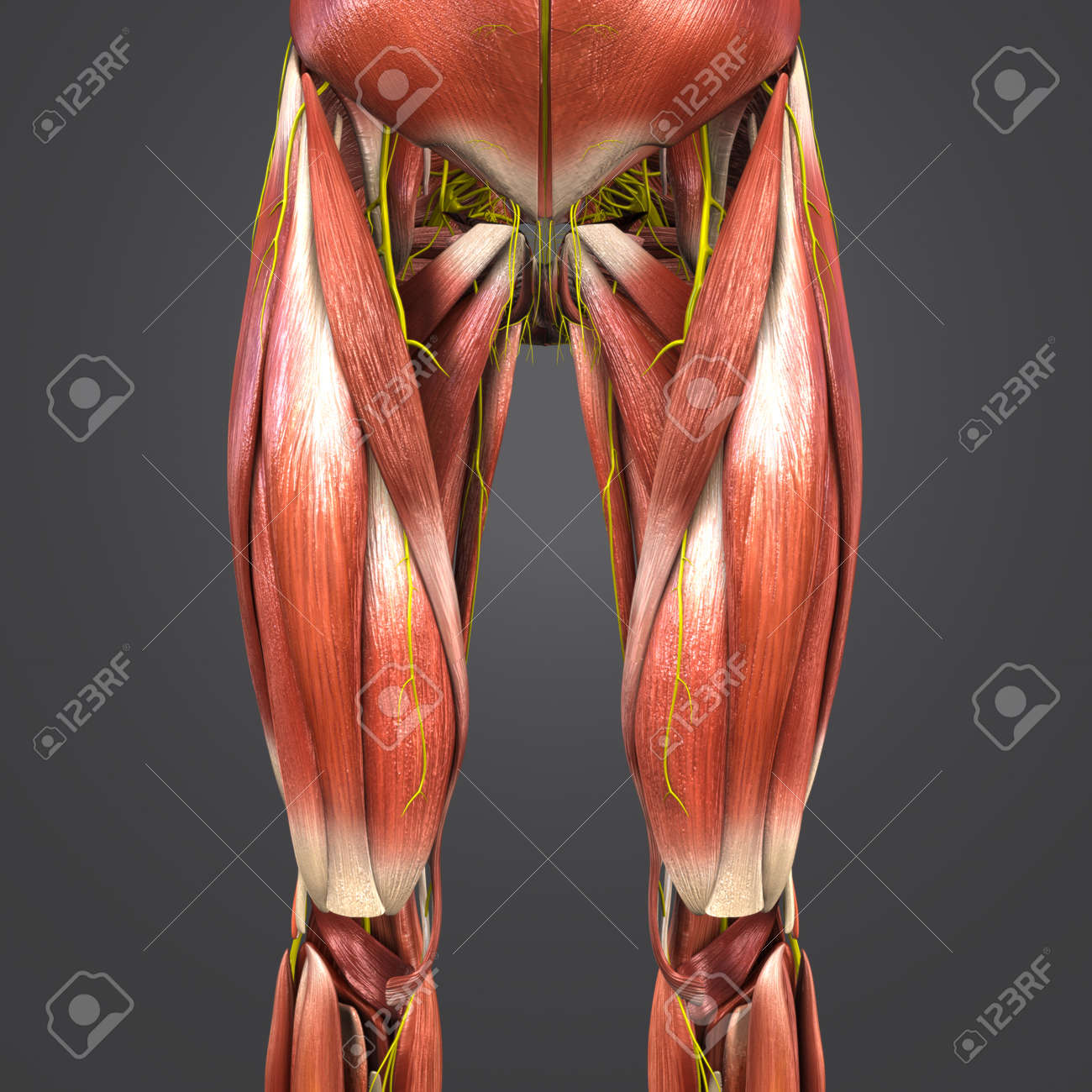 Muscles Anatomy With Nerves Of Hip And Thigh Anterior View Stock