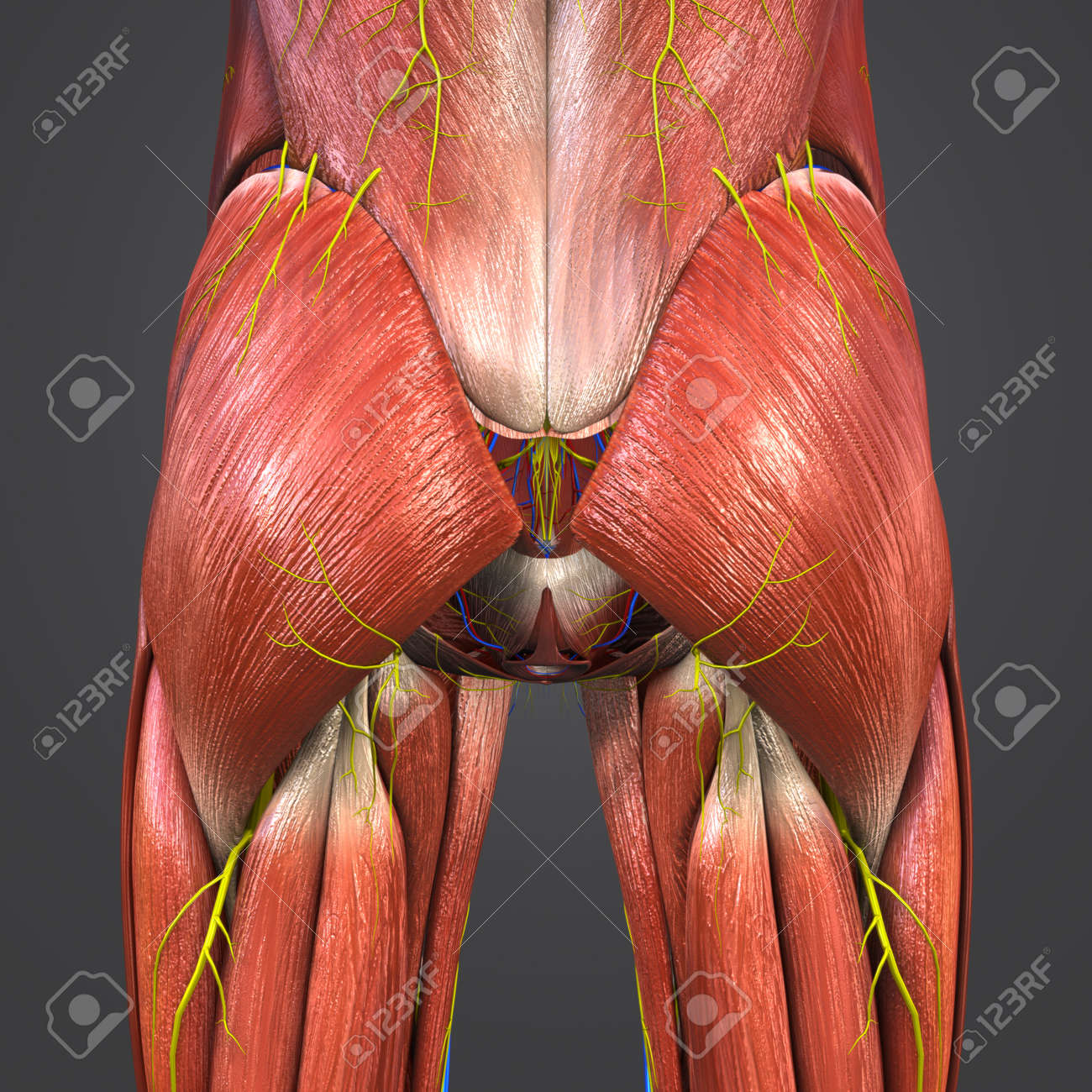 Hip Muscles Anatomy With Blood Vessels And Nerves Stock Photo