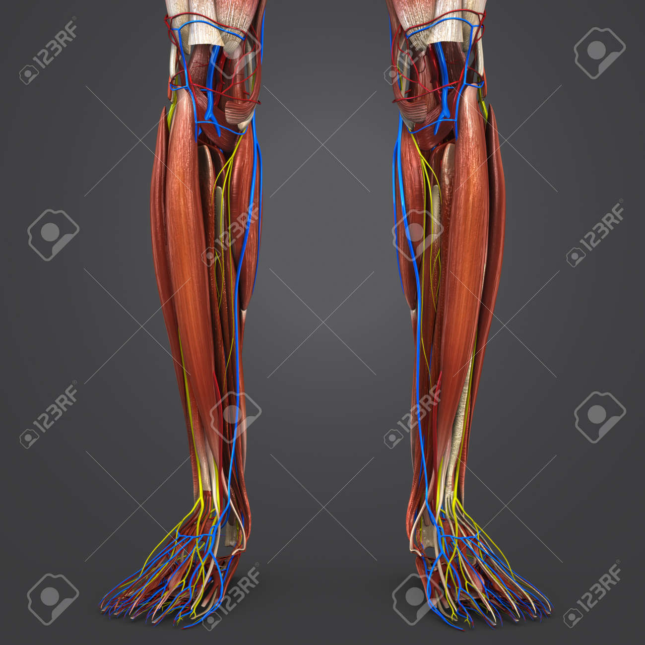 Leg Muscles With Blood Vessels And Nerves Stock Photo Picture And