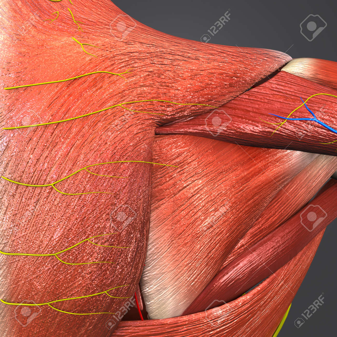 Shoulder Muscles With Blood Vessels, Nerves And Lymph Nodes Closeup ...
