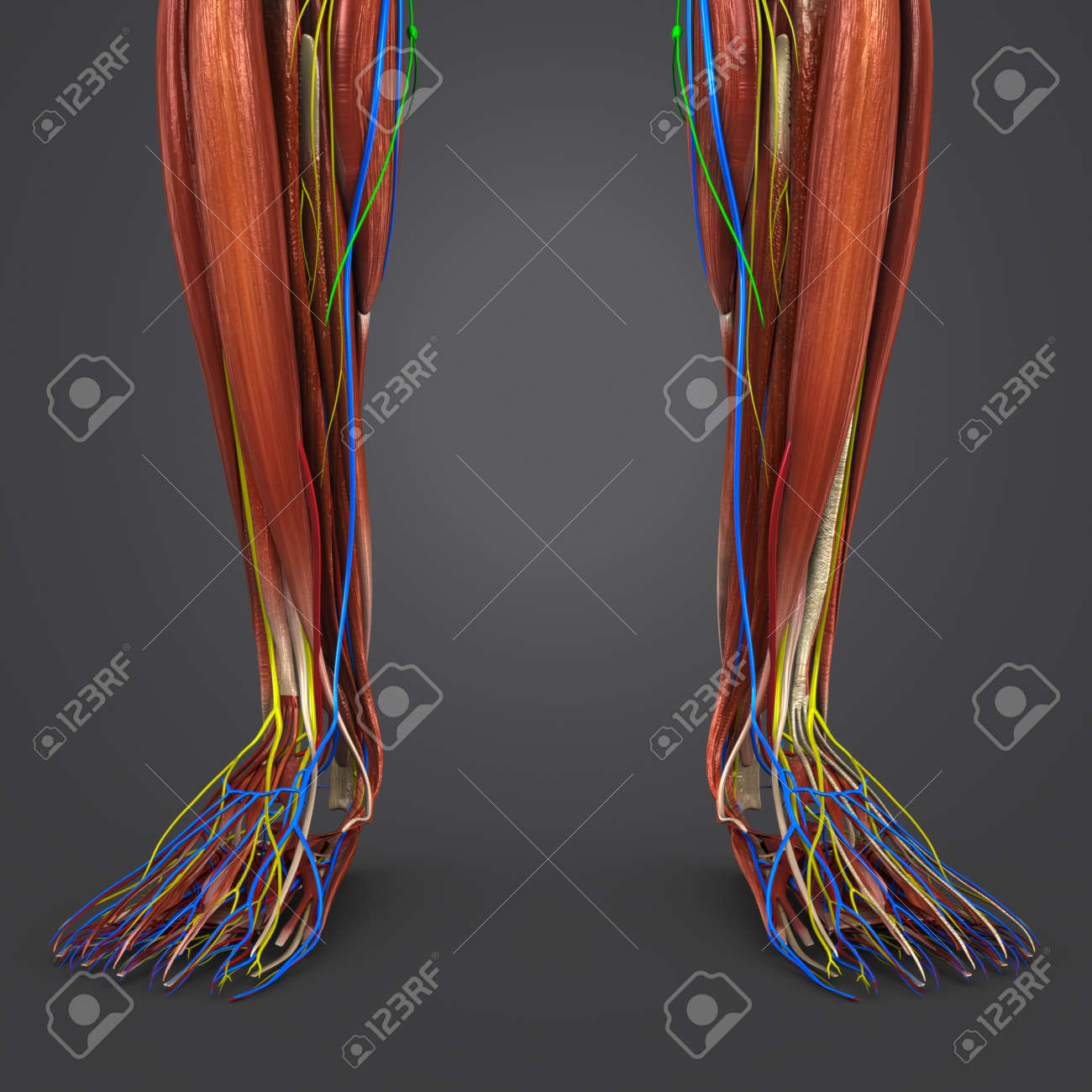 Leg Muscles Anatomy With Blood Vessels, Nerves And Lymph Nodes ...