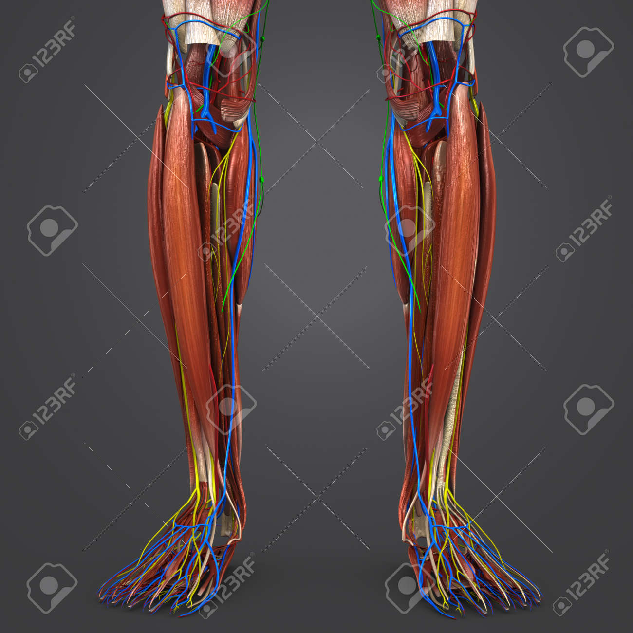 Leg Muscles Anatomy With Blood Vessels, Nerves And Lymph Nodes Stock ...