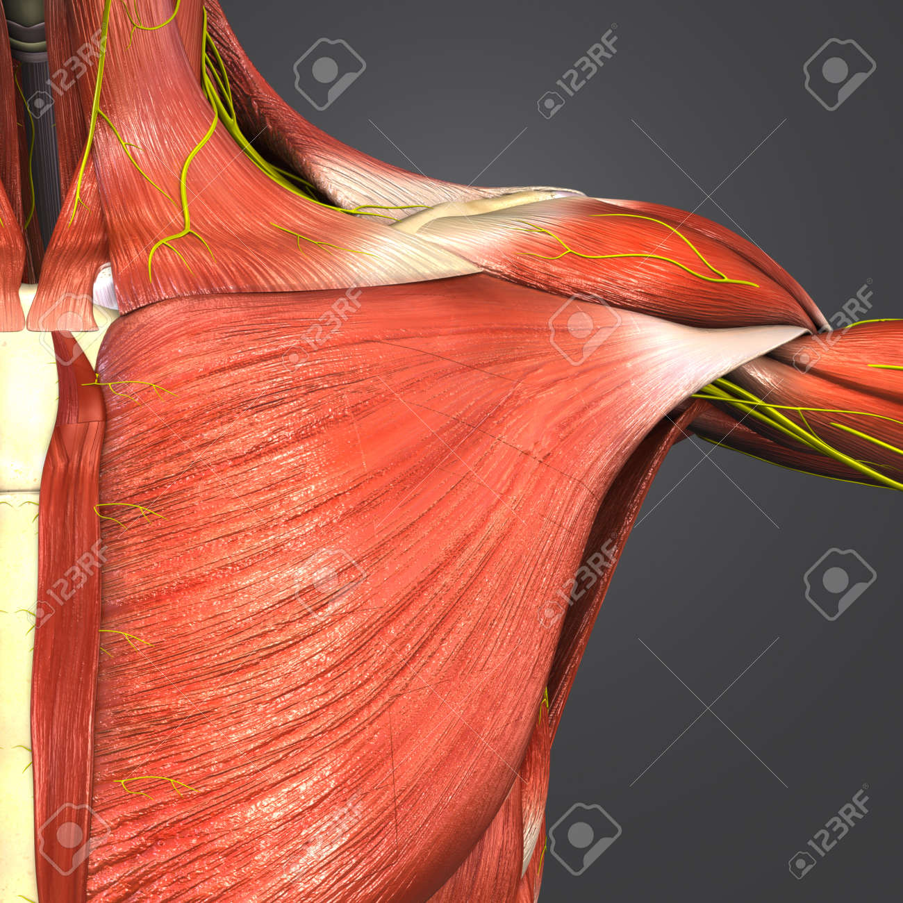 Shoulder Muscles And Skeleton With Nerves Stock Photo, Picture And ...
