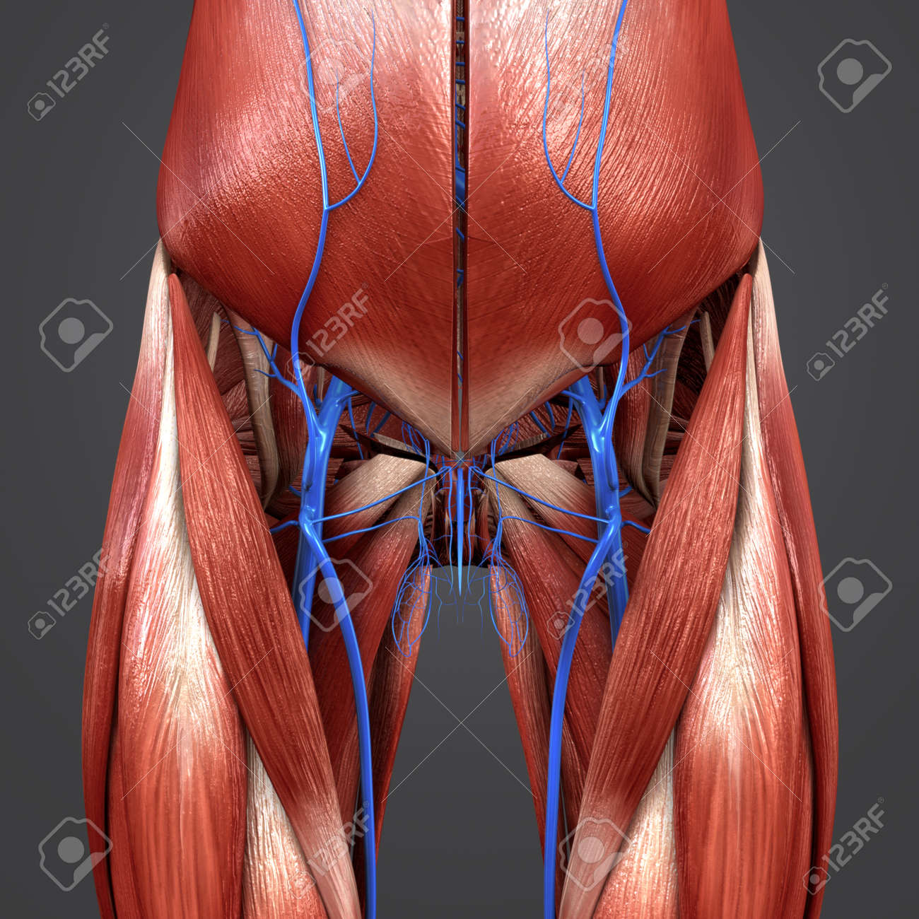Hip Muscles With Veins Anterior View Stock Photo Picture And
