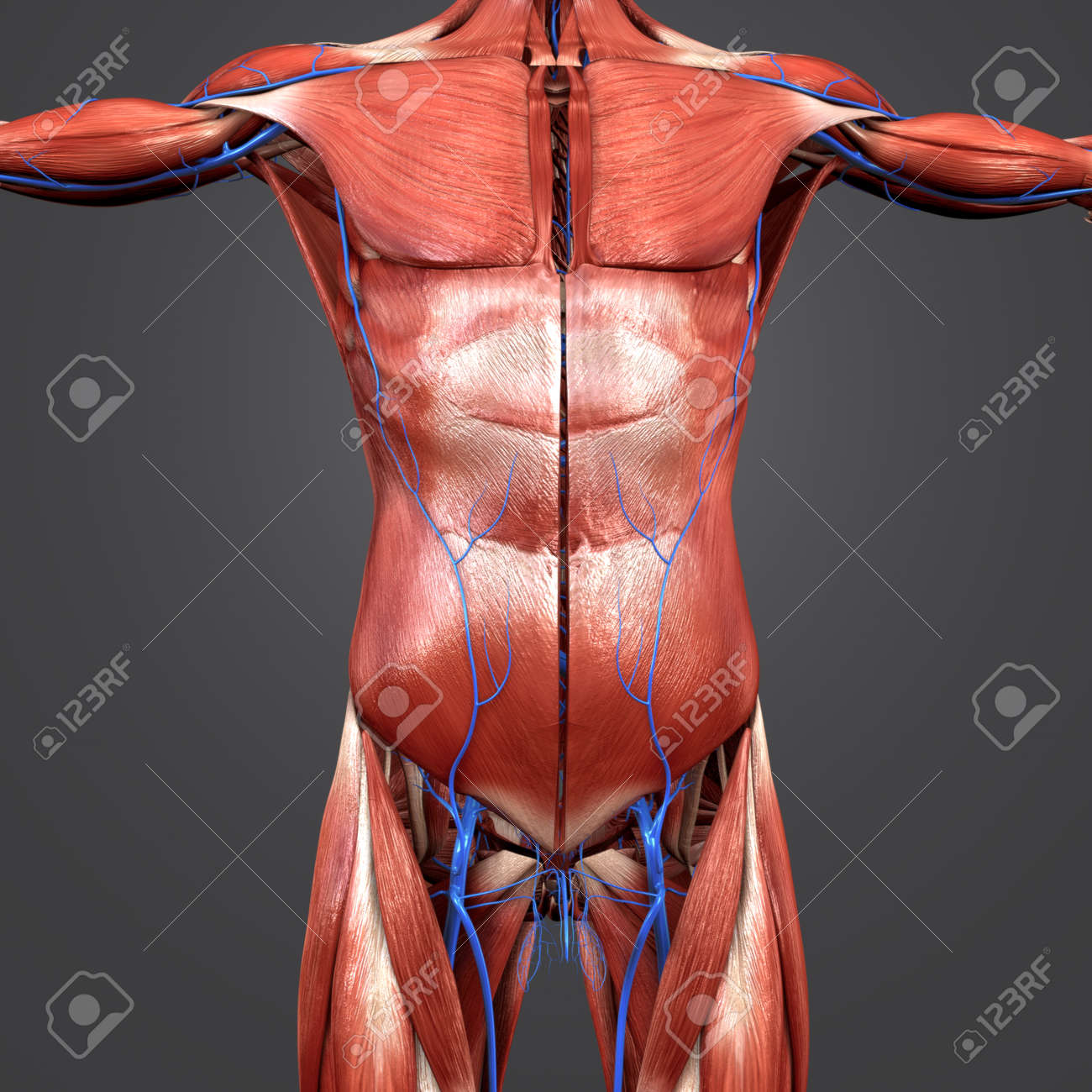 Human Muscular Anatomy With Veins Anterior View Stock Photo Picture