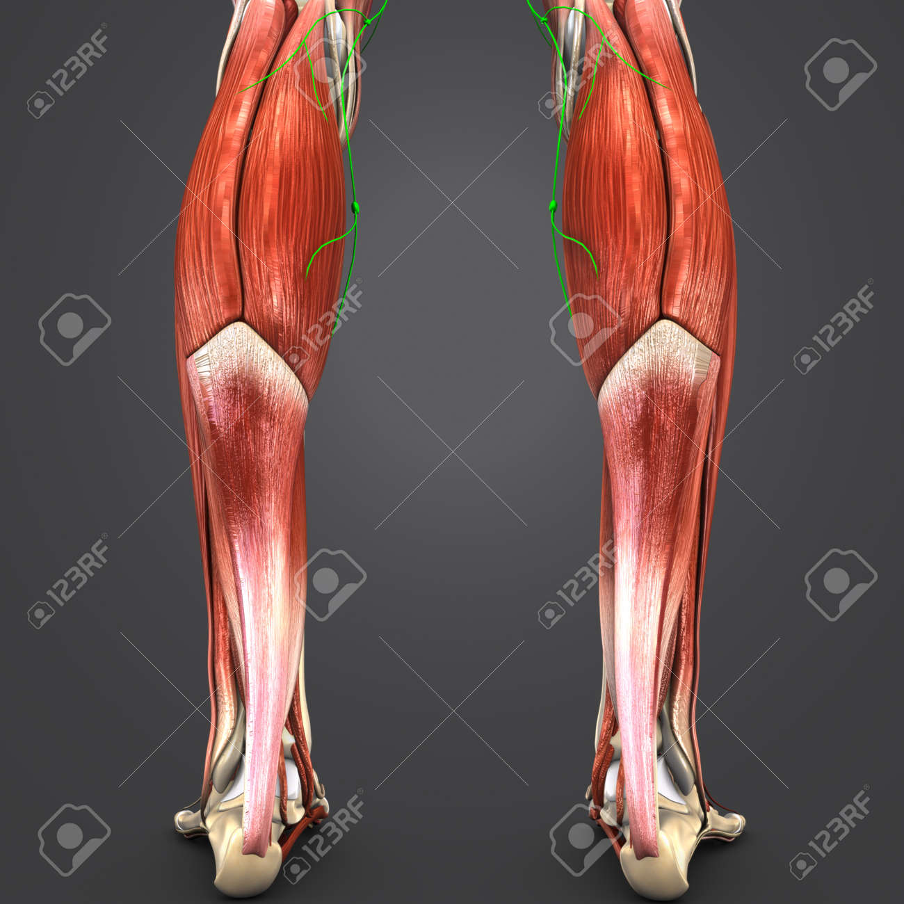 Muscles Of Leg With Lymph Nodes Posterior View Stock Photo Picture