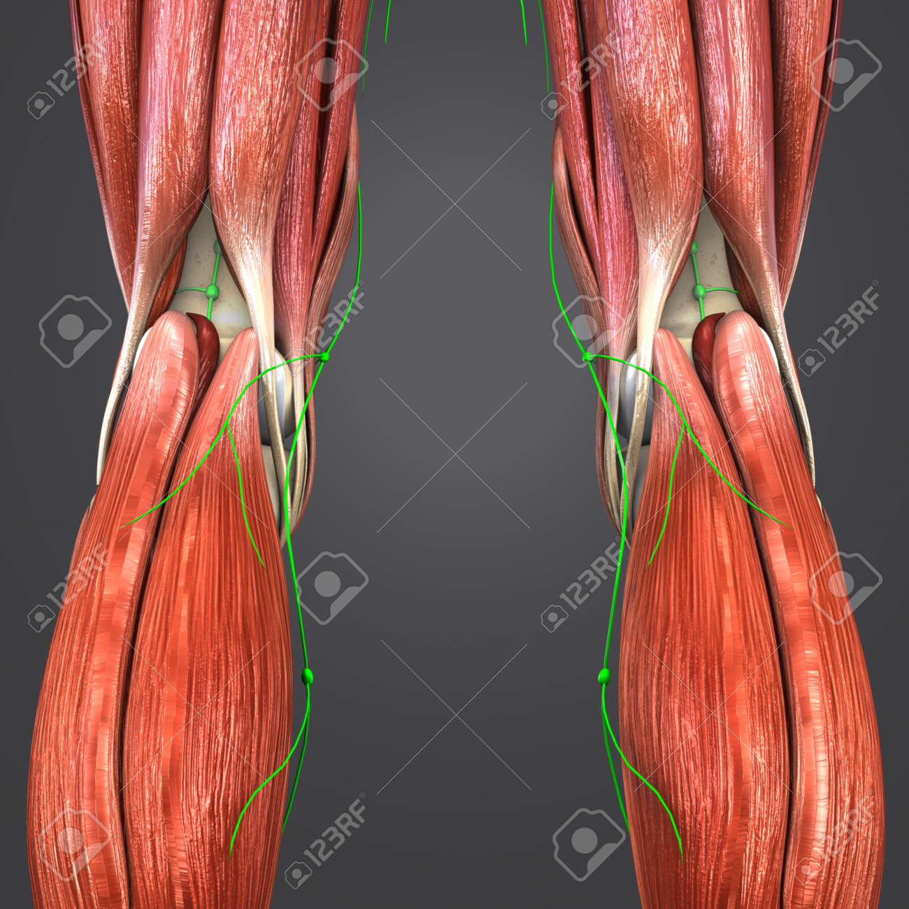 Knee Joint Muscle Anatomy With Lymph Nodes Stock Photo, Picture And ...