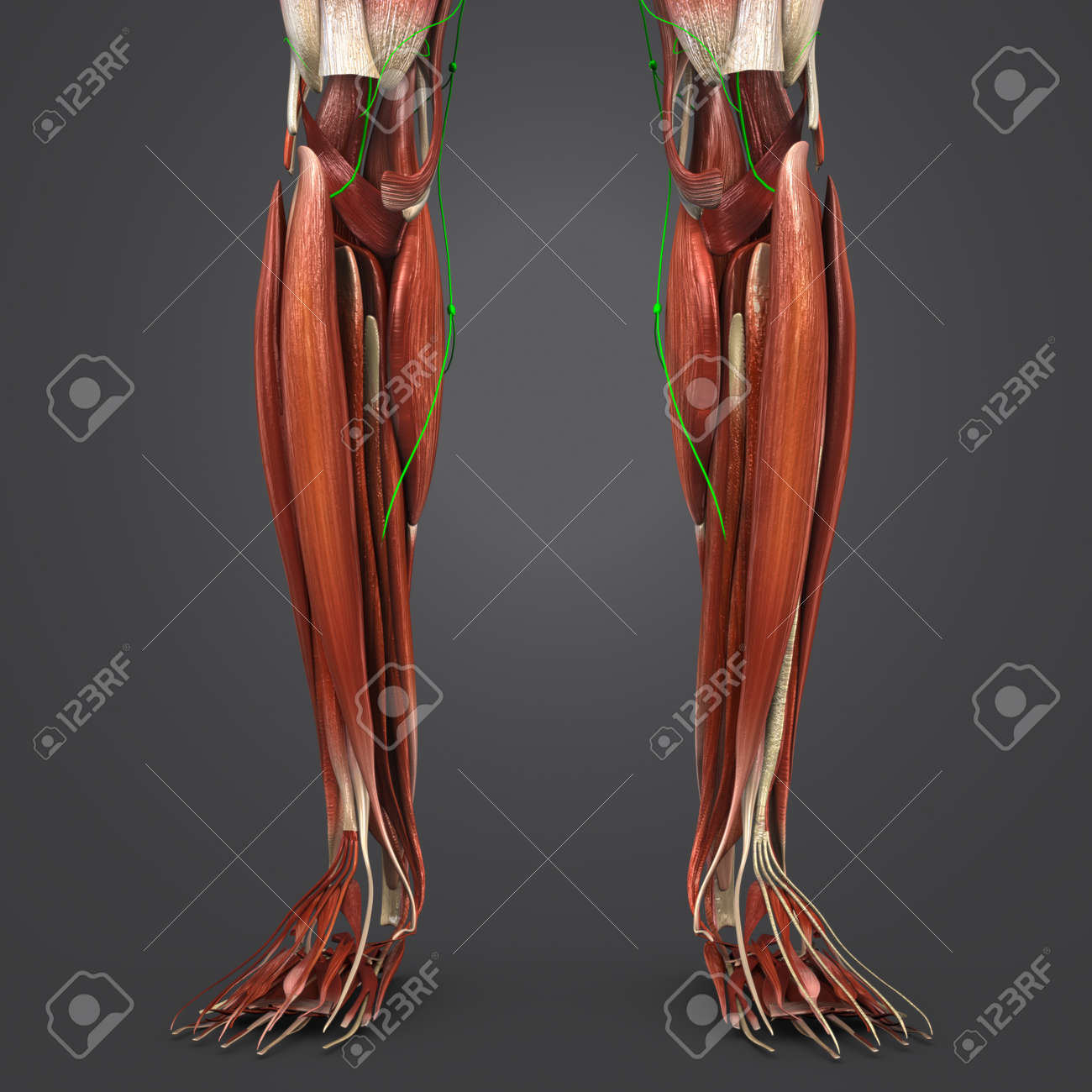 Leg Muscles With Lymph Nodes Stock Photo Picture And Royalty Free