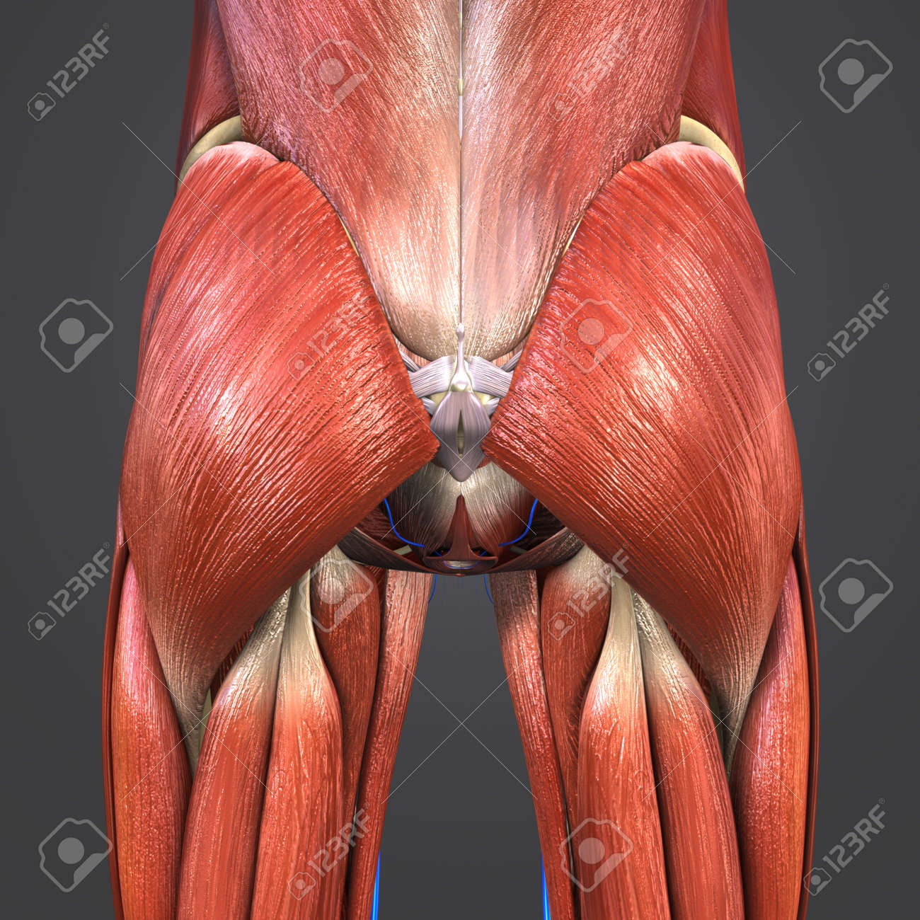 Hip Muscles And Bones With Veins Stock Photo Picture And Royalty