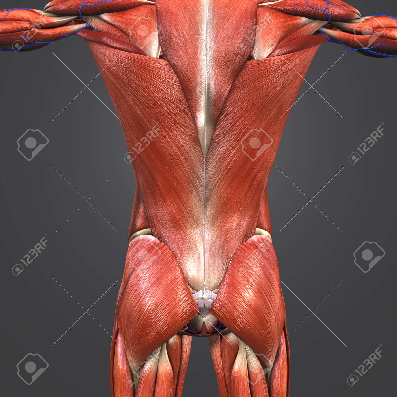 Muscles And Bones At Vertebral Column With Veins Stock Photo