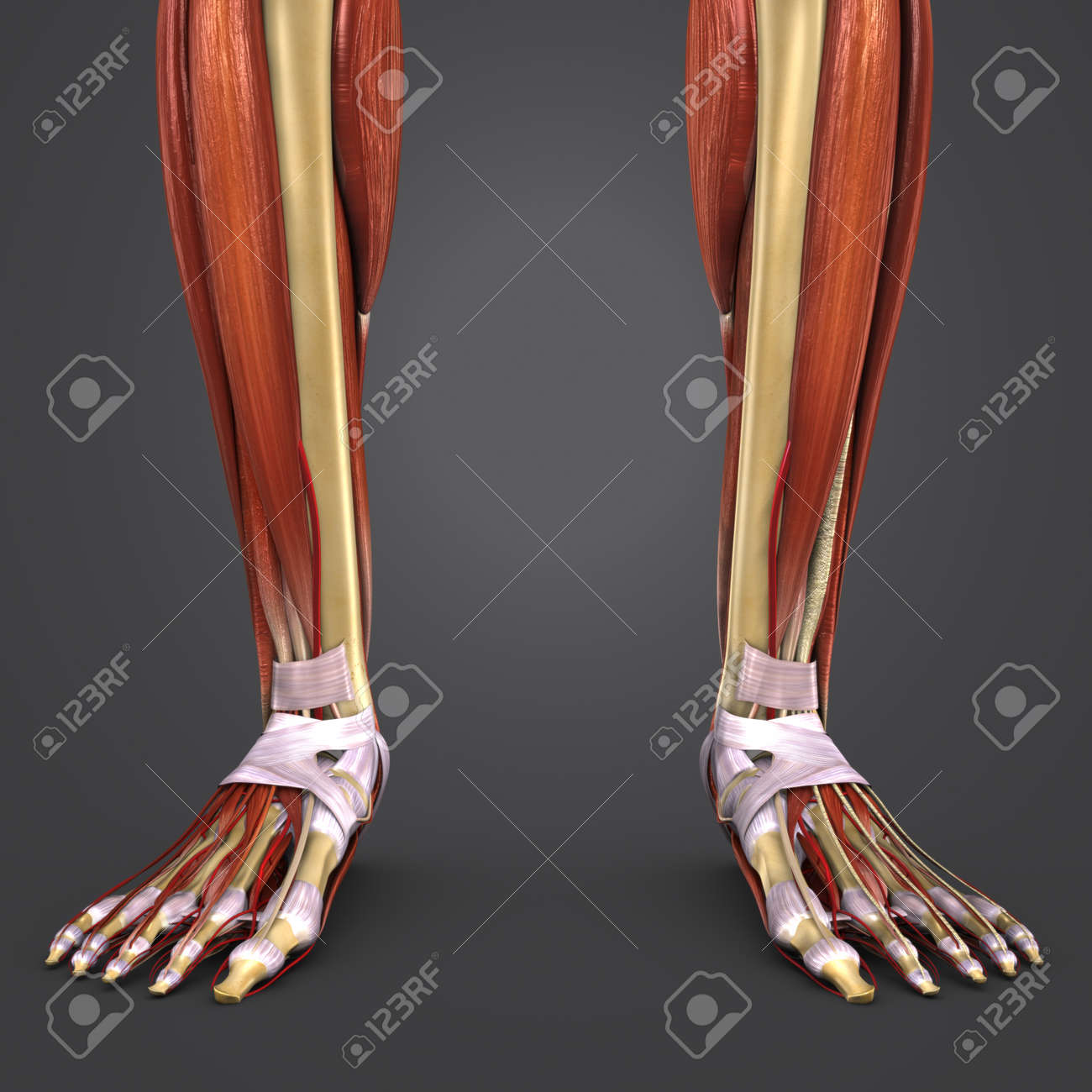Leg Muscles And Bones Anatomy With Arteries Closeup Stock Photo