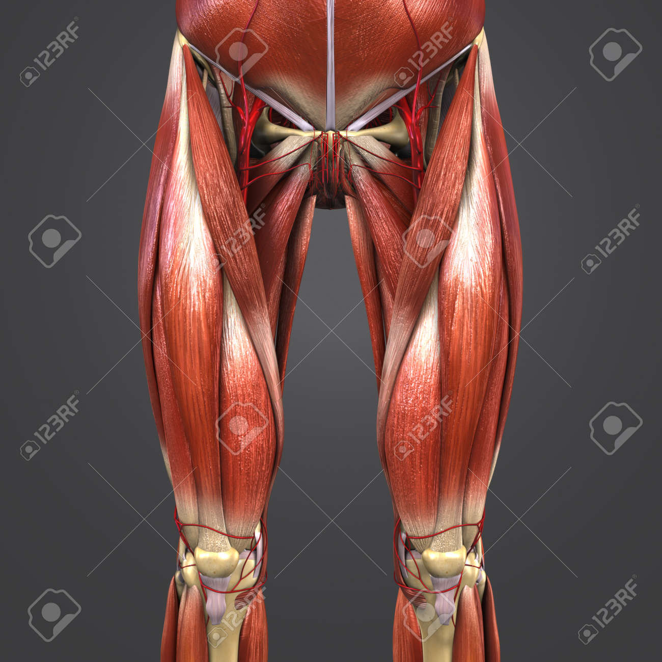 Muscles And Bones With Arteries Of Hip And Thigh Anterior View Stock