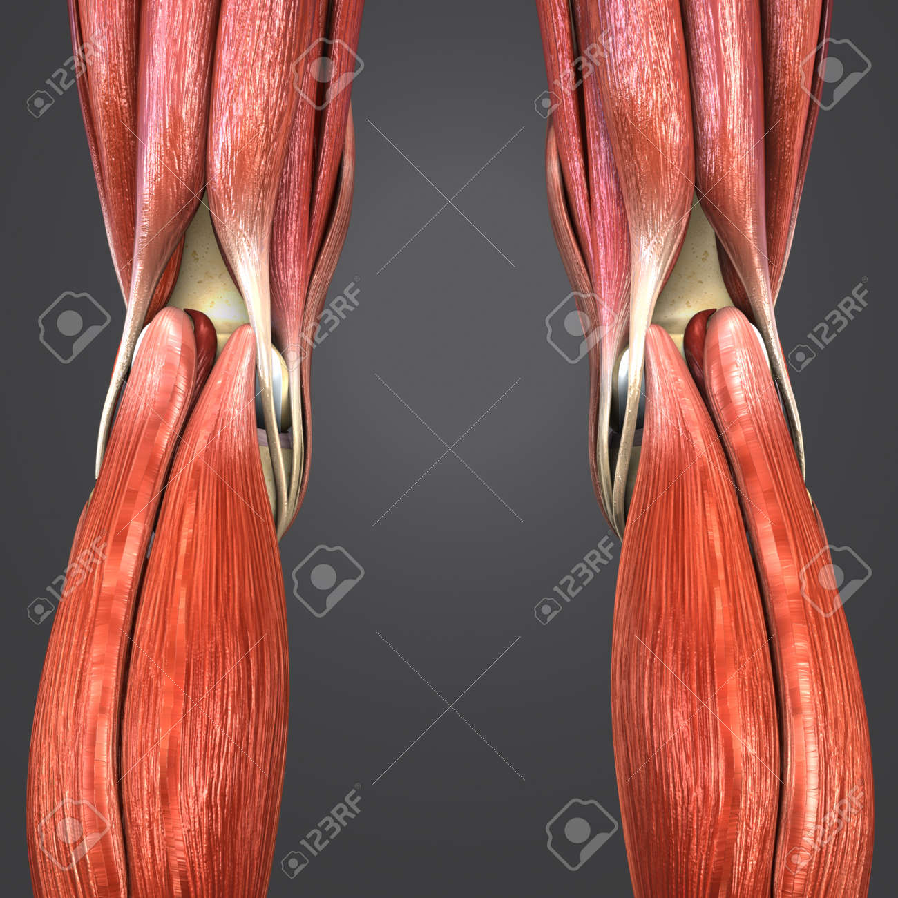Knee Joint Muscle Anatomy With Lymph Nodes Posterior View Stock