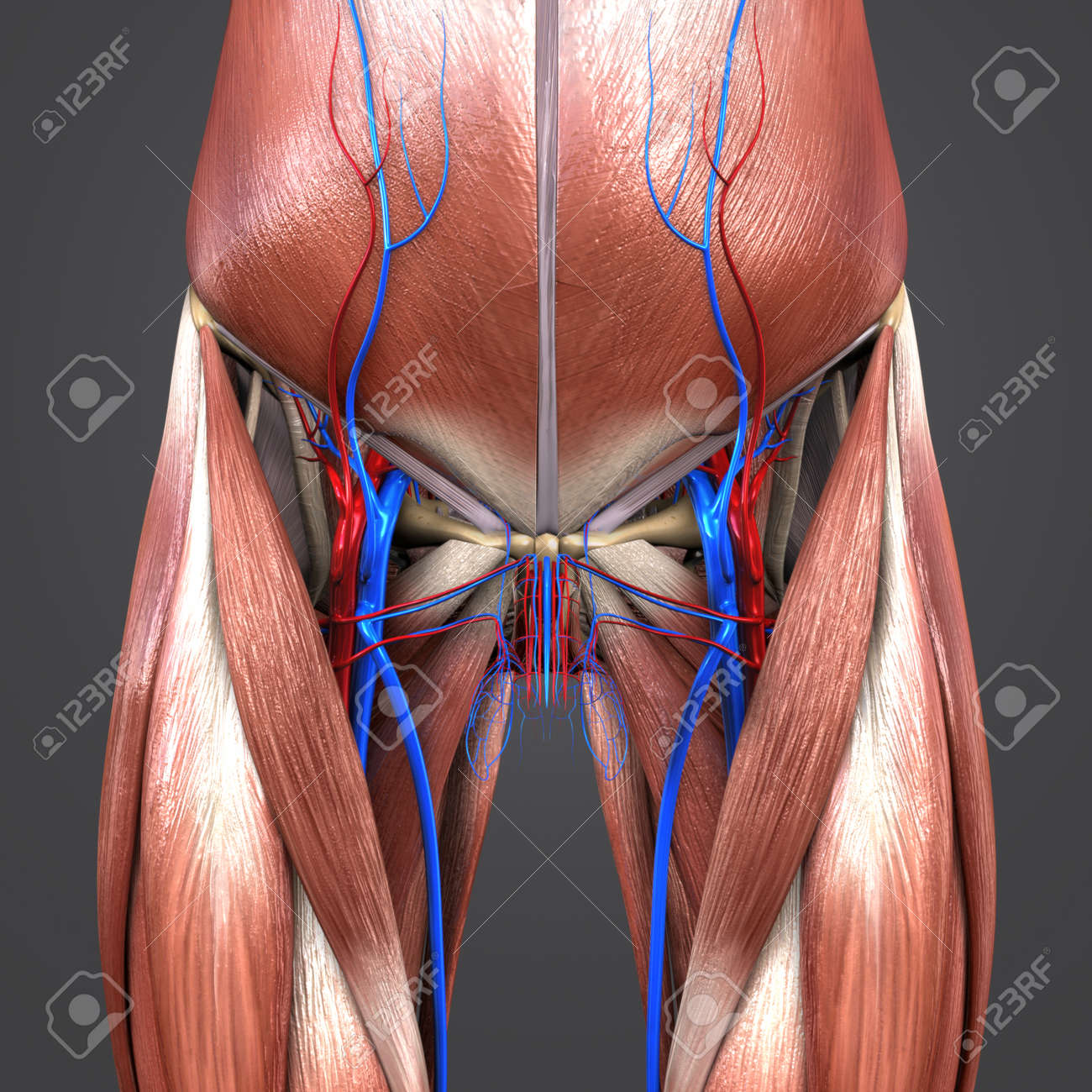 Muscles And Bones With Blood Vessels Of Hip And Thigh Stock Photo