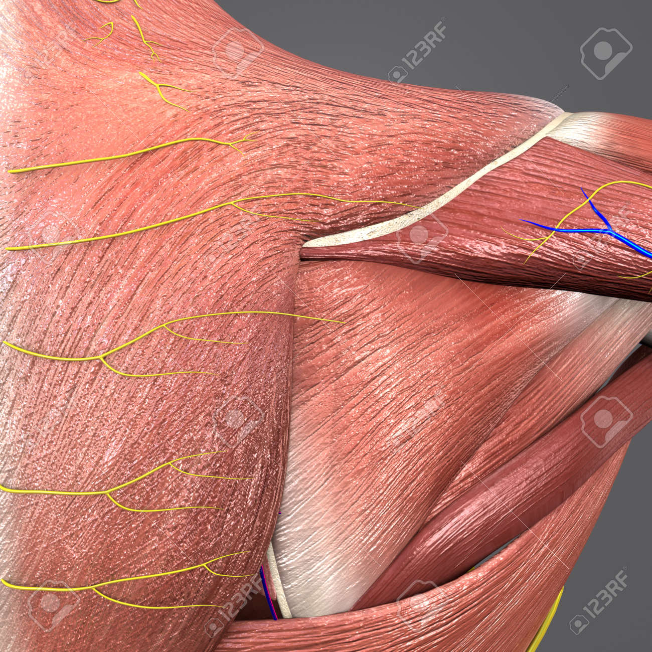 Shoulder Muscles And Bones With Circulatory System And Nerves ...