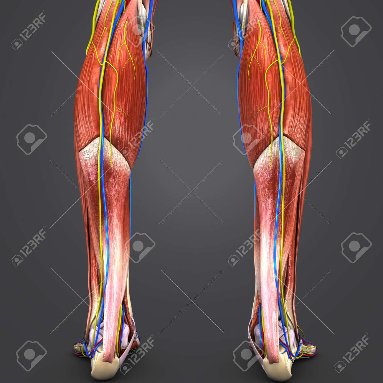 Human Legs Muscles Anatomy Posterior View Stock Photo, Picture And ...