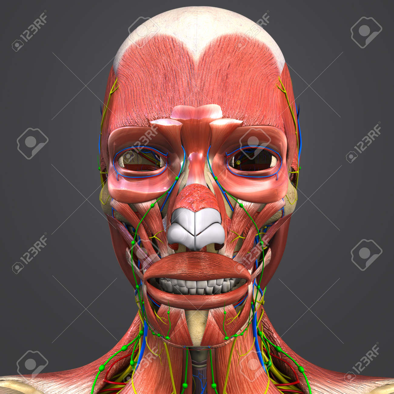 Facial Muscles And Bones With Circulatory System Nerves And Stock