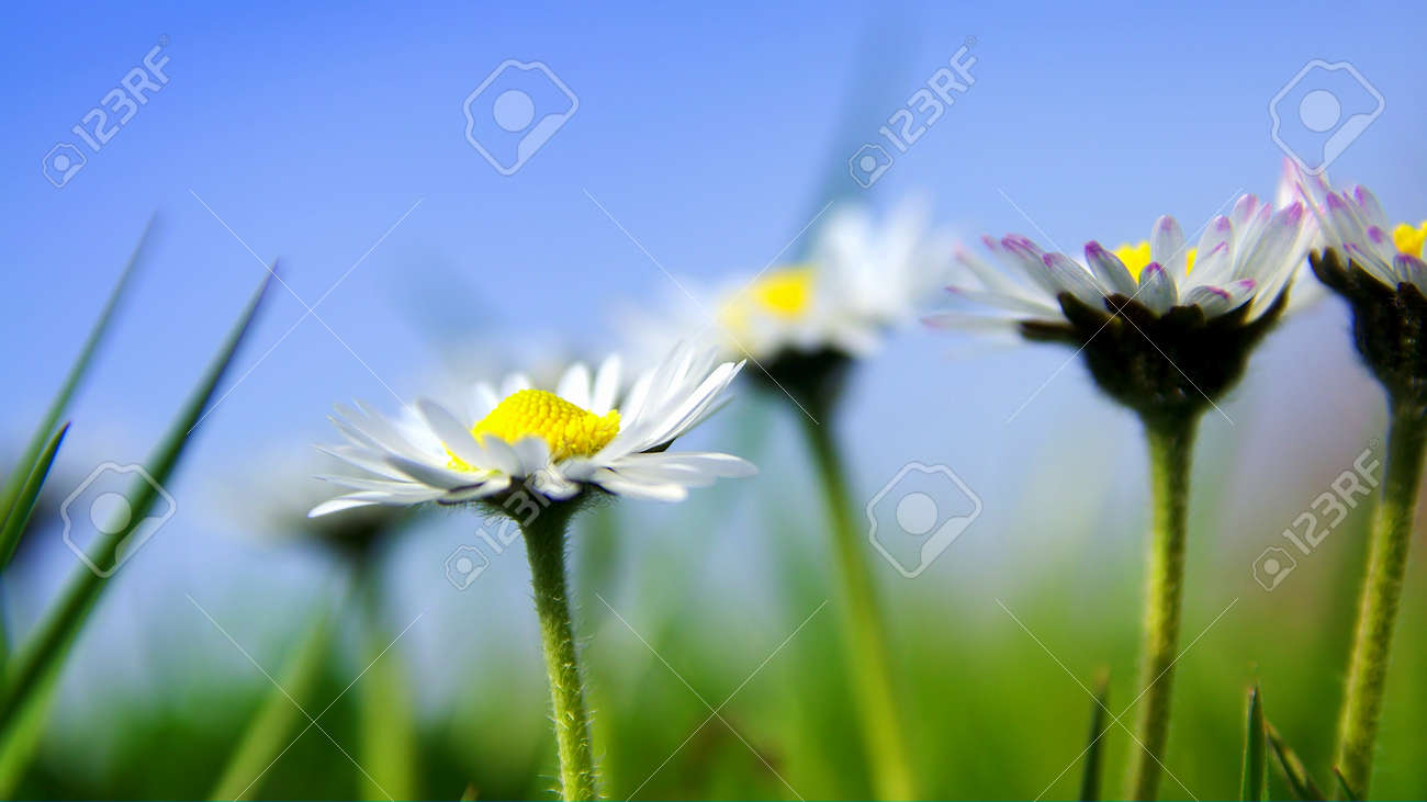 Daisies in the sun with blue sky Stock Photo - 9704545
