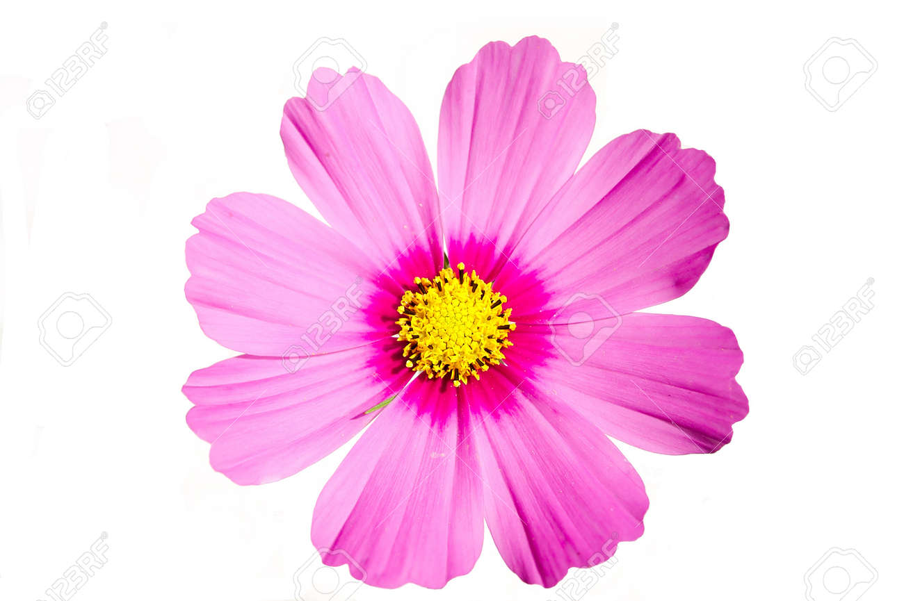 Pink flower cosmos sensation isolated on white stock photo picture pink flower cosmos sensation isolated on white stock photo 10341501 mightylinksfo