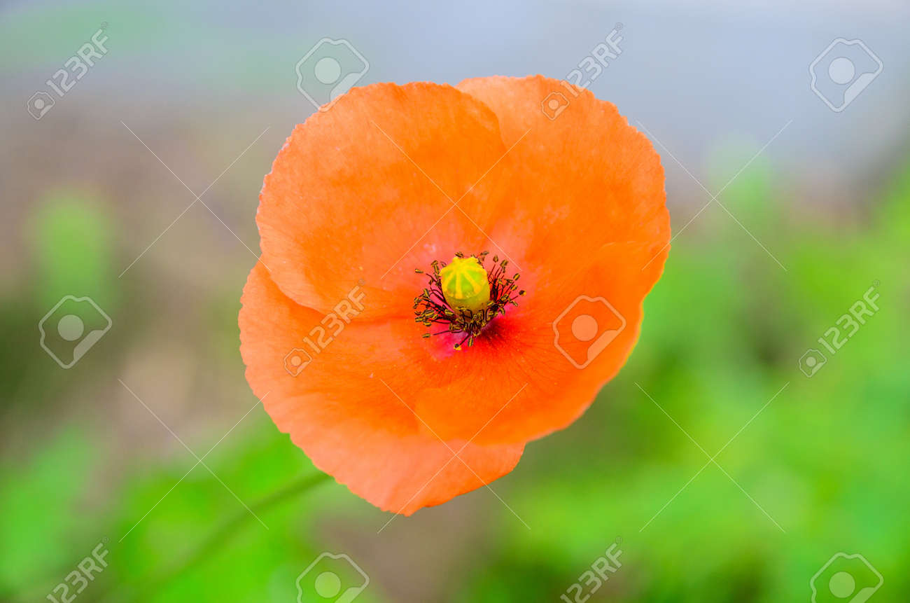 Red poppy on green background closeup Stock Photo - 21381021