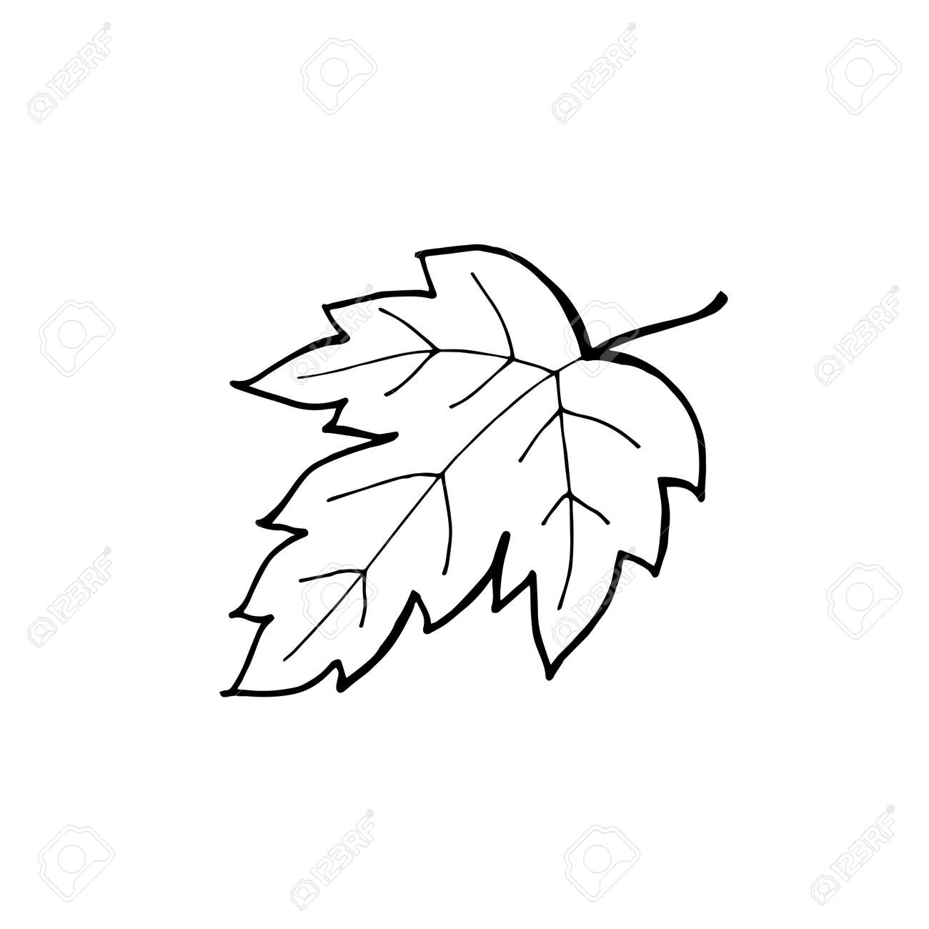 Hand Drawn Maple Leaf Outline Maple Leaf In Line Art Style Isolated