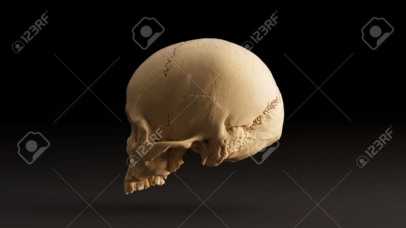 Human Skull Front Skull Scan Is From Scsu Vizlab Thingiverse