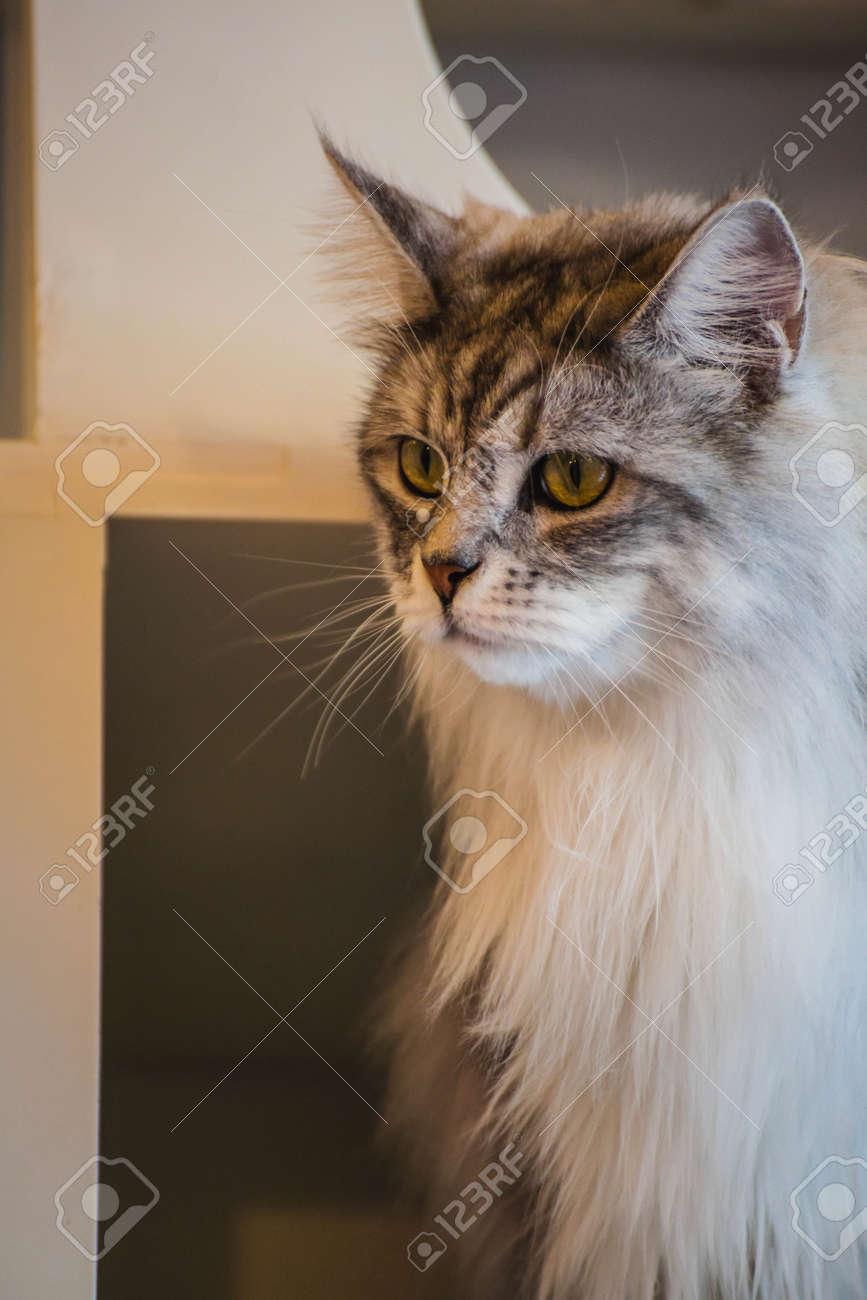 Schliessen Sie Oben Von Maine Coon Katzen Die In Einem Katzen Cafekaffee Spielen Lizenzfreie Fotos Bilder Und Stock Fotografie Image 67513423