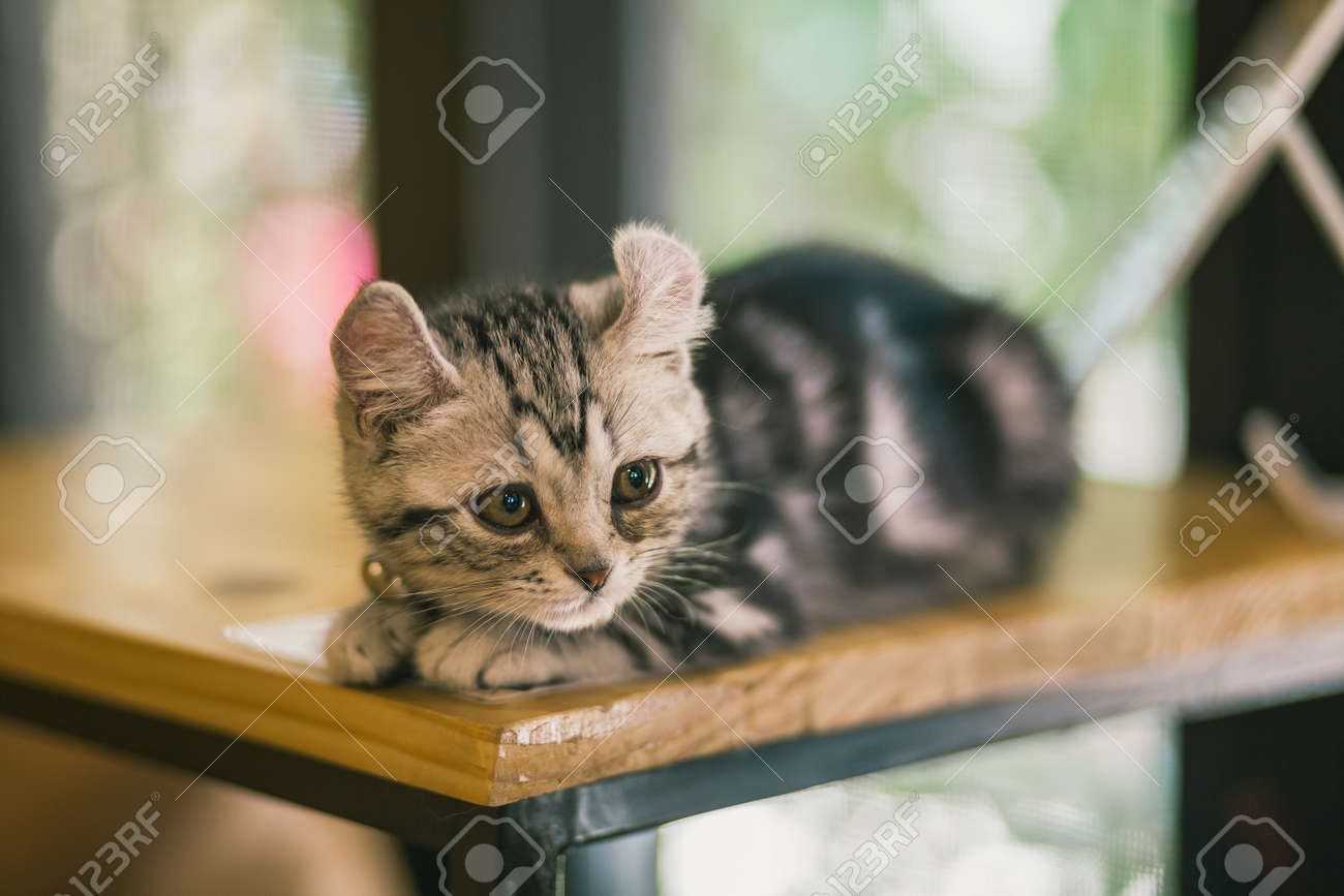 Close Up Of Cute Cats In A Cat Cafe Coffee Shop Little Cat Tabby Stock Photo Picture And Royalty Free Image Image 79947519