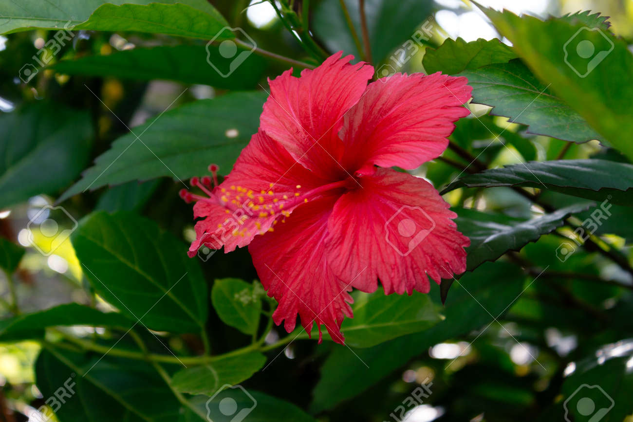 Sri Lanka National Flowers The Red Shoe Flower Or Hibiscus Stock
