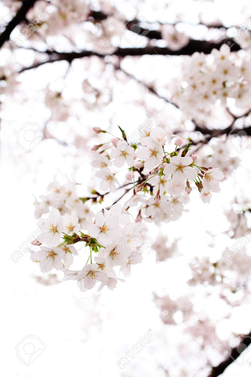 Cherry blossom Stock Photo - 12019847