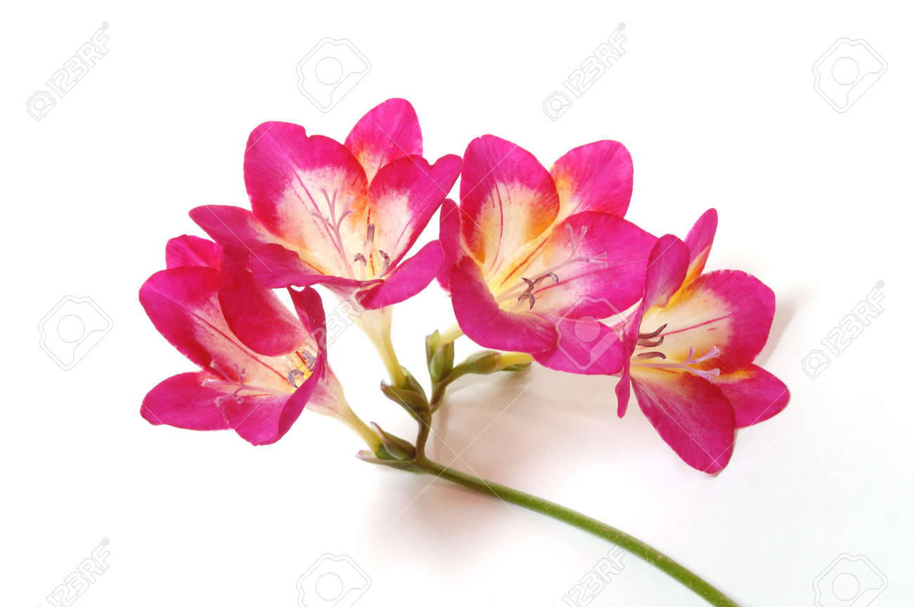 Pink freesia stock photo picture and royalty free image image pink freesia mightylinksfo