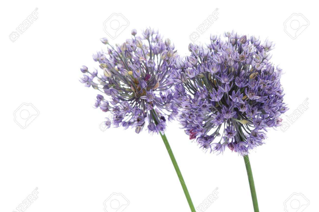Allium flowers isolated on white background Stock Photo - 13547521