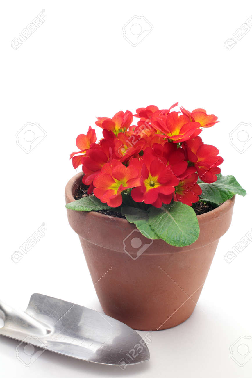 red flowers in small flowerpot stock photo picture and royalty
